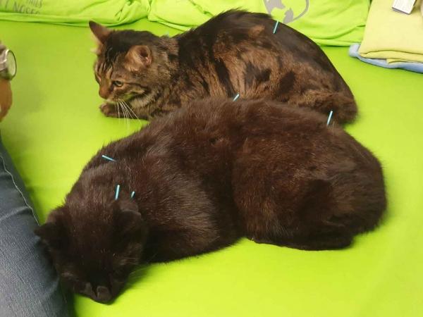 Auch Katzen können akupunktiert werden